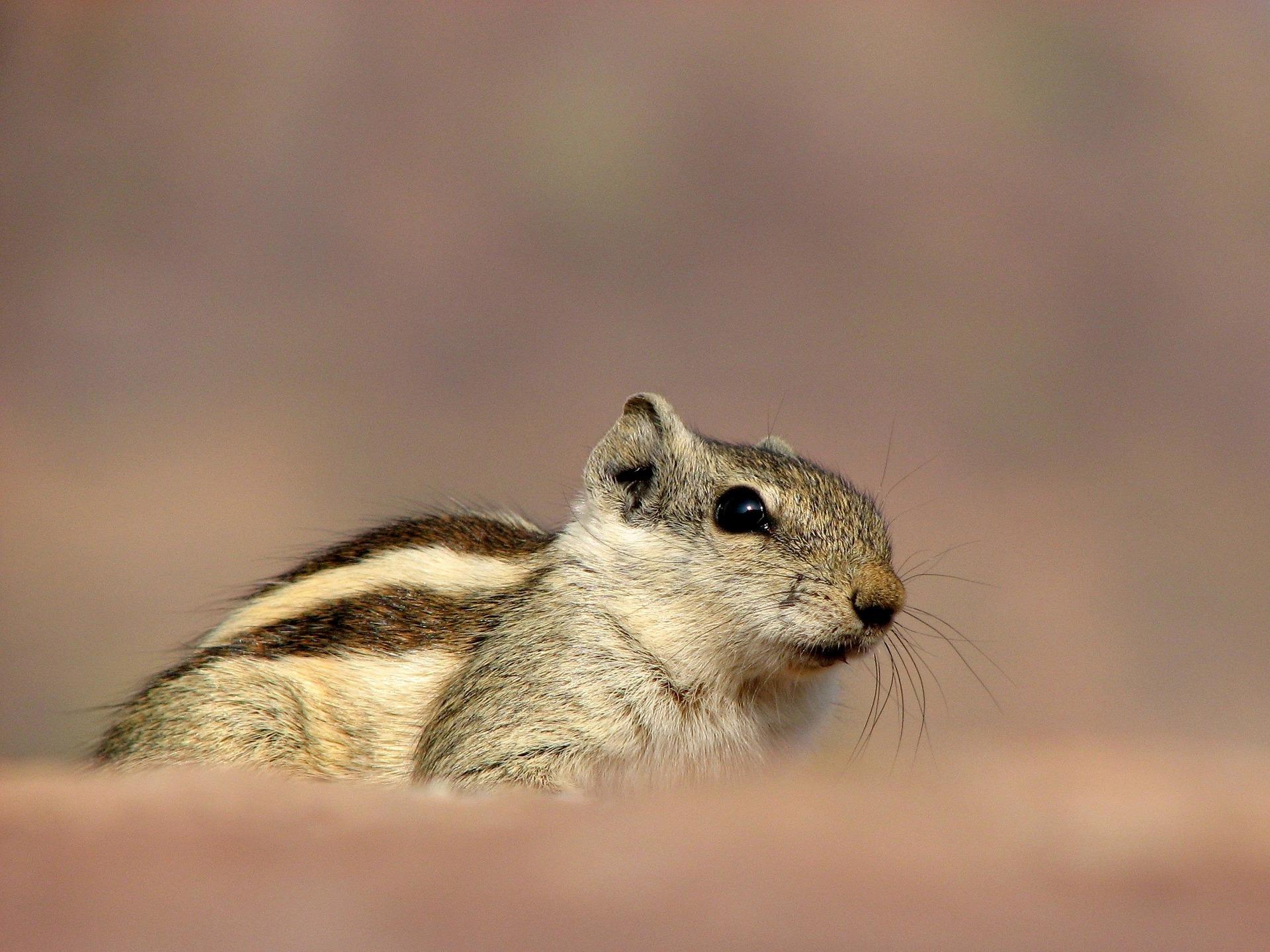 Wiewiórka domowa zyskuje na popularności. Coraz częściej spotkać ją można zamiast chomika czy świnki morskiej.