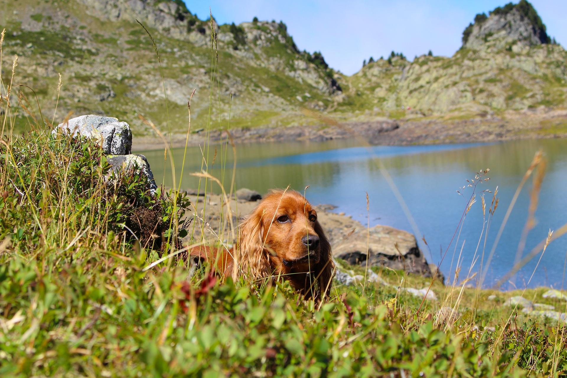 Cocker spaniel angielski to rasa psa myśliwskiego przeznaczonego do wypłaszania ptactwa. Jest wesoły i skory do zabaw.