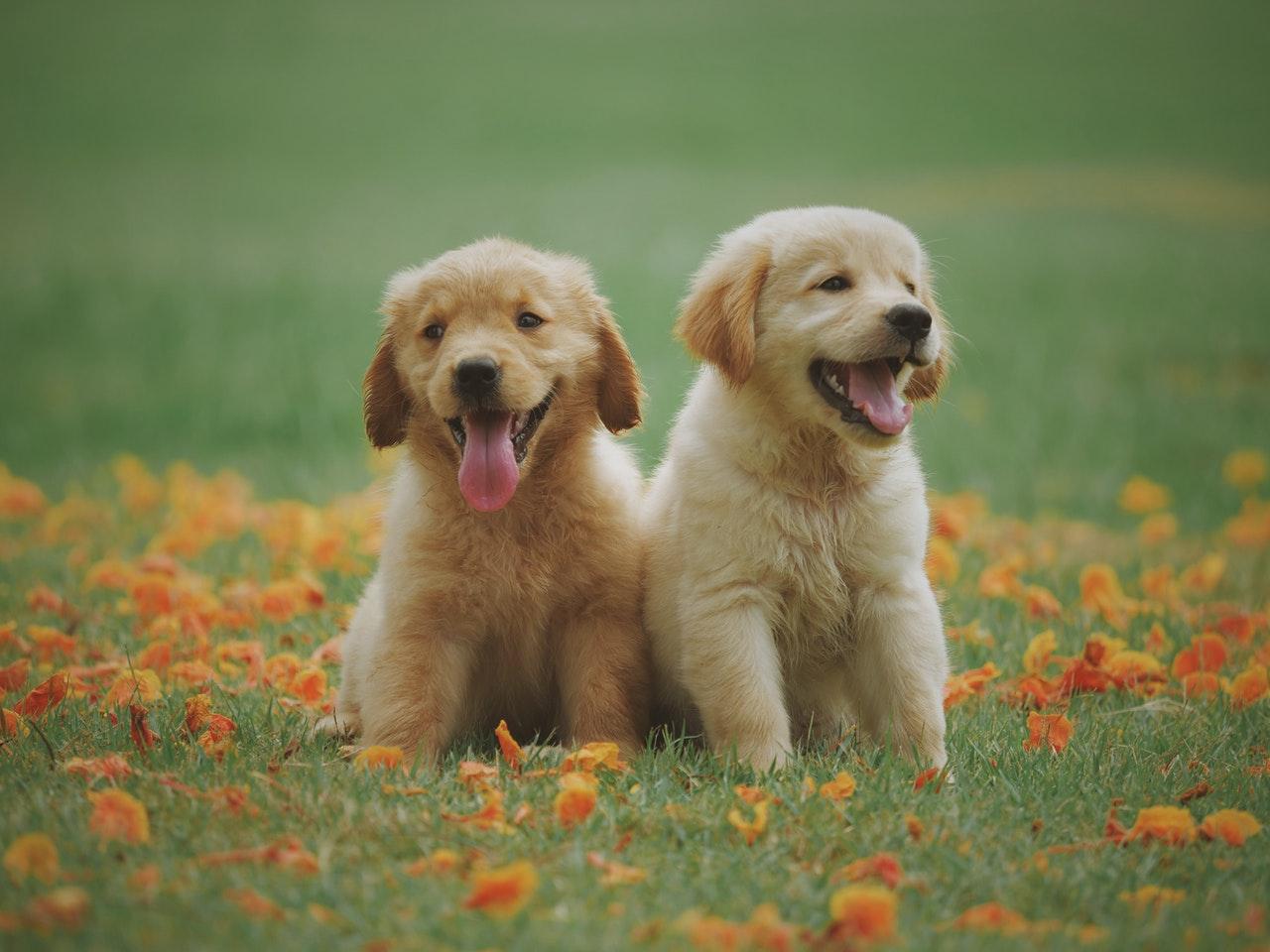Czkawka u psa i szczeniaka może mieć różne podłoże, jednak częsta czkawka u psa wymaga już diagnostyki, gdyż może być objawem zarobaczenia.