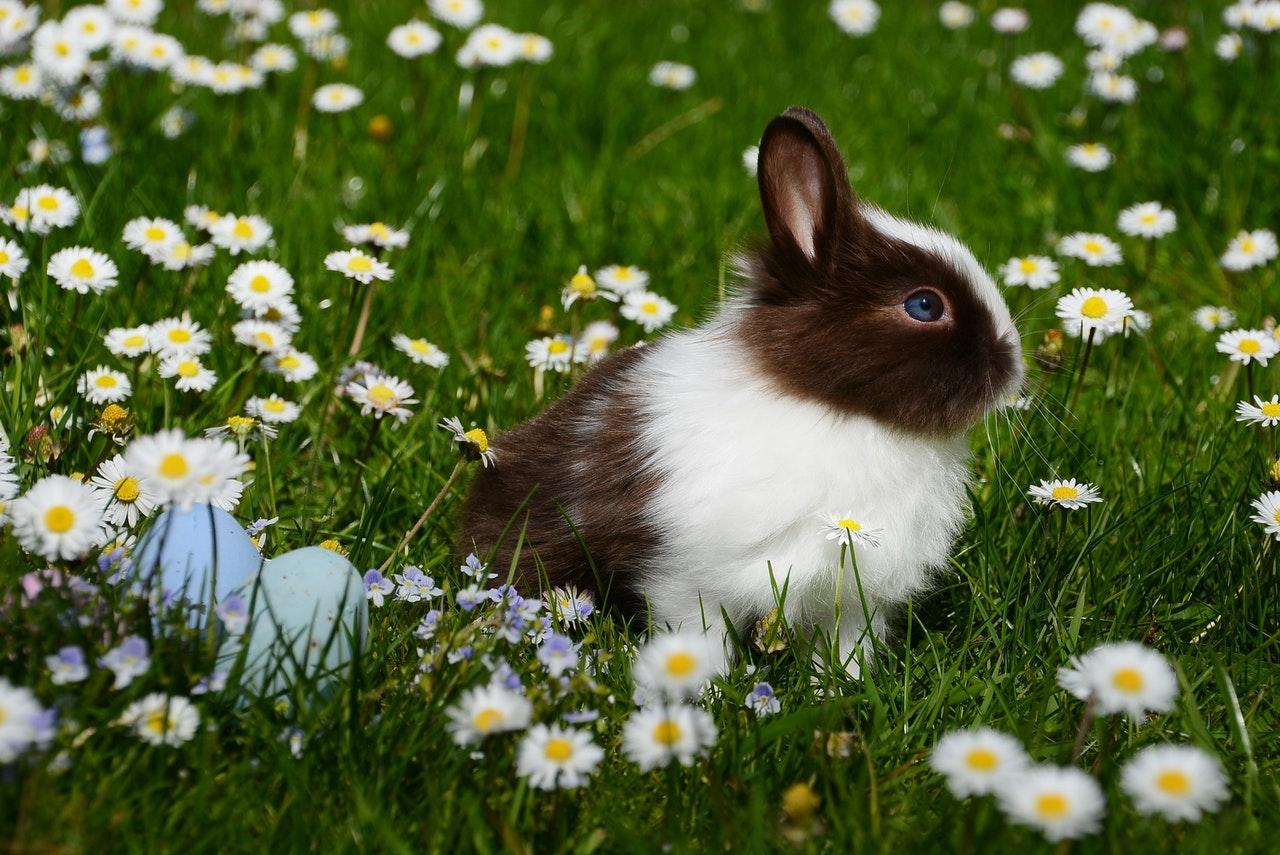 Poznaj najpopularniejsze rasy królików karłowatych. Sprawdź, czym się wyróżnia królik baranek i królik kalifornijski.