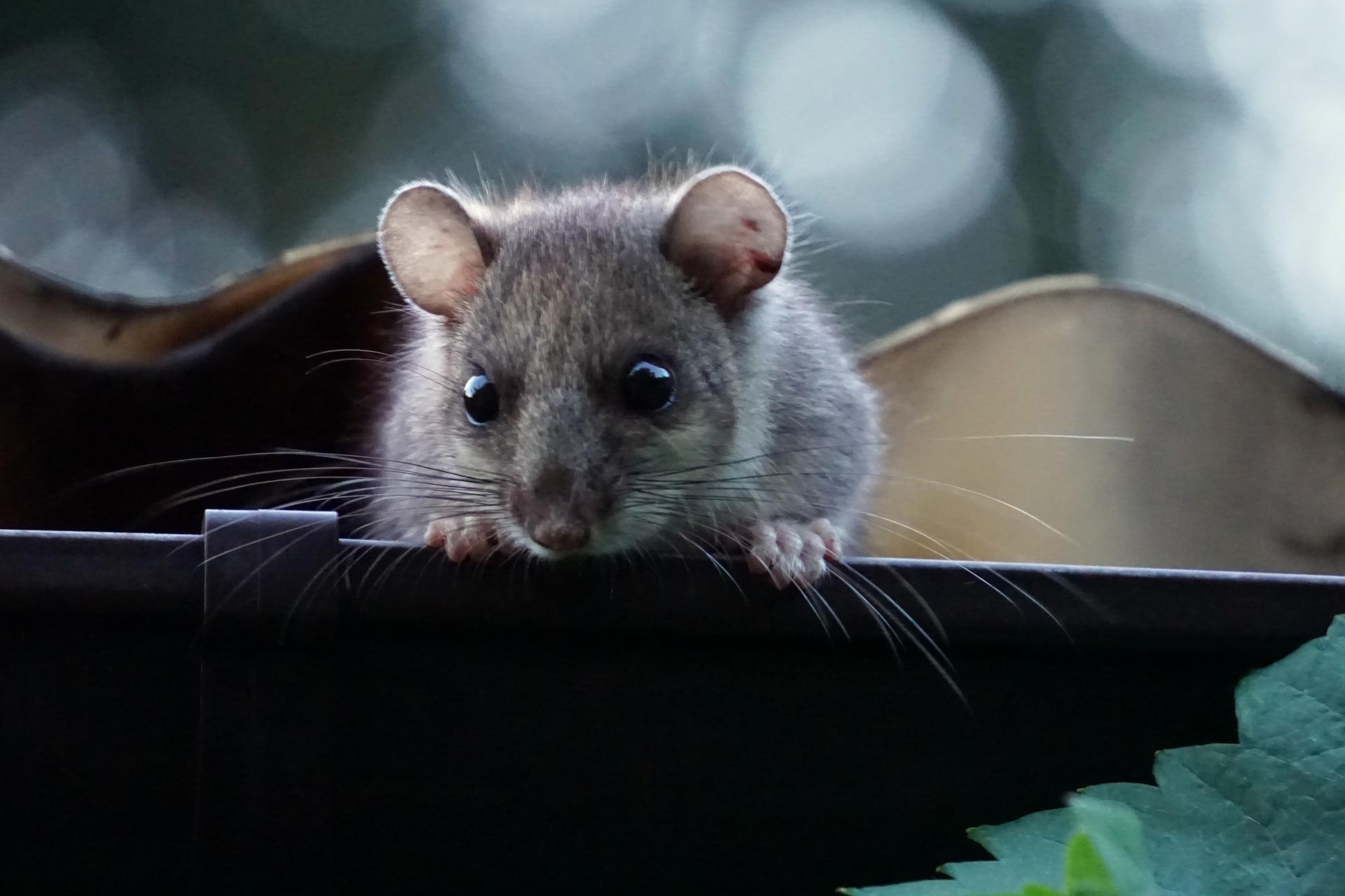 Popielica jest niewielkim gryzoniem wywodzącym się z Afryki, ale w naturze można ją także spotkać w polskich górach.