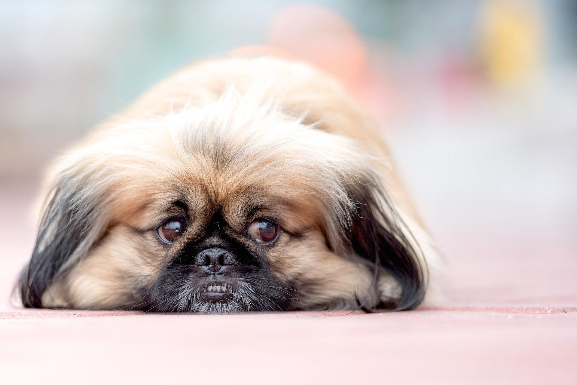 Pekińczyk to jeden z najbardziej zdystansowanych psów do towarzystwa. Uparty, niezależny, miniaturowy lew.