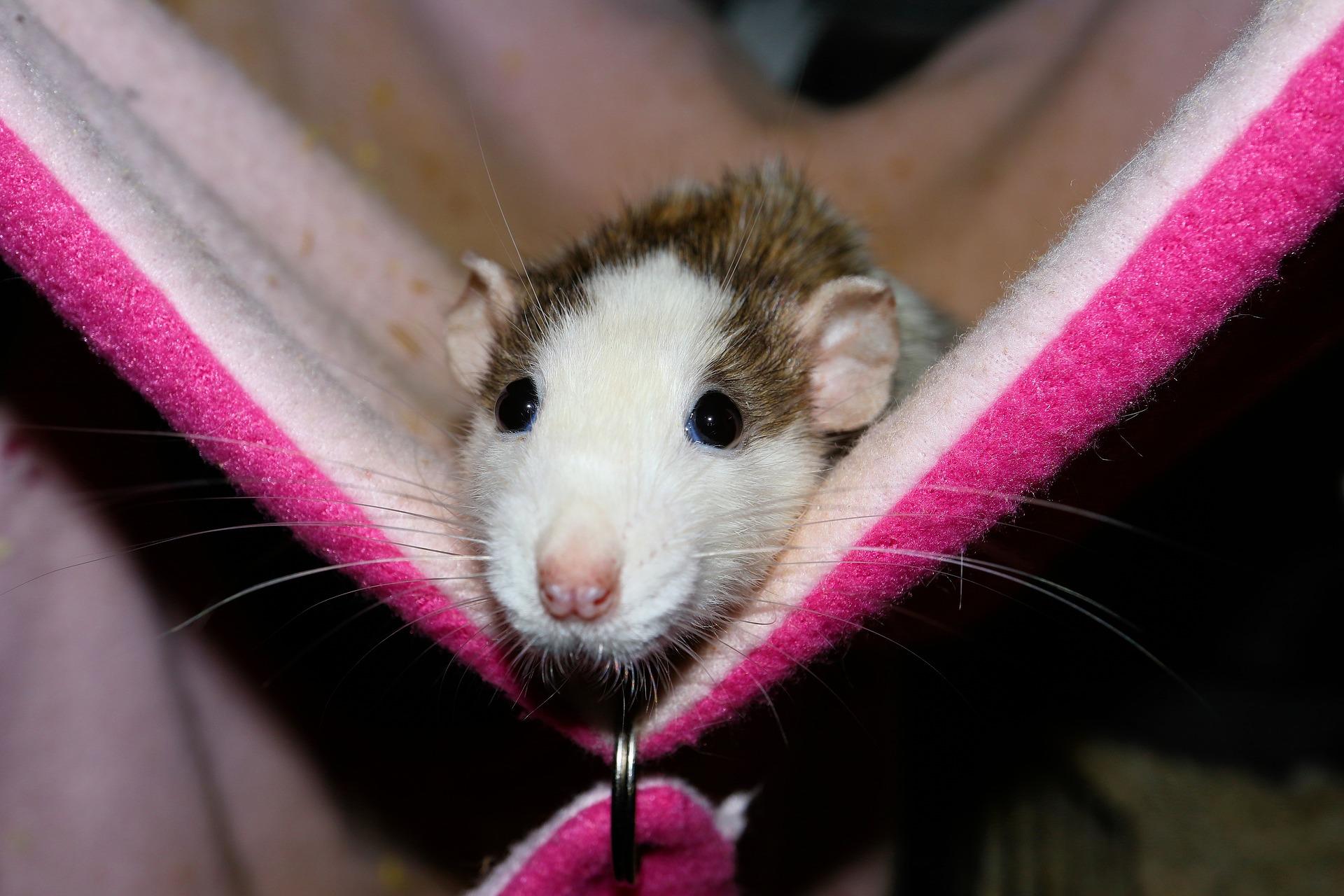 Choroby szczurów, jak je rozpoznać?