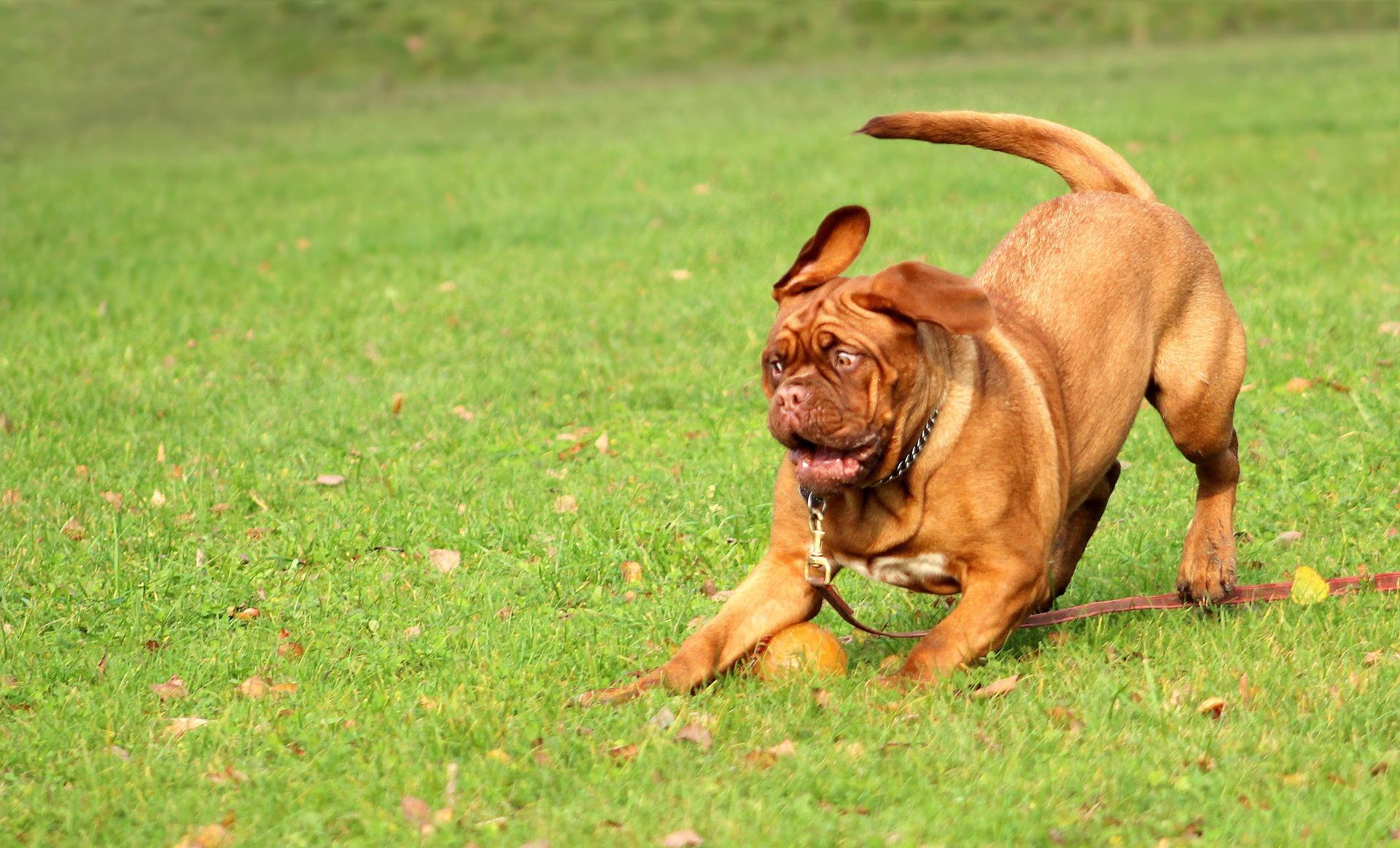 Czy pies może spożywać surowe mięso? Z czym podawać taki posiłek?
