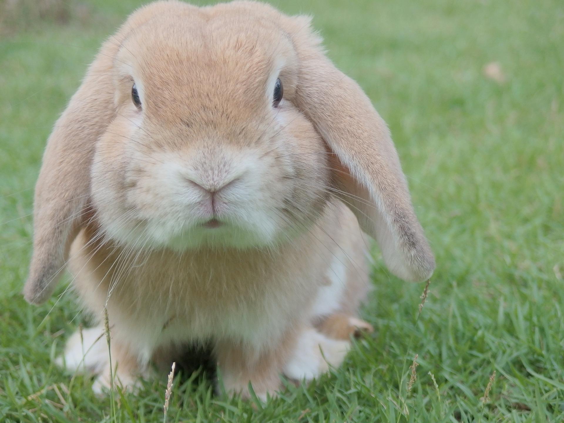 Jakie są kłapouche króliki baranki miniaturowe? Encyklopedia ras