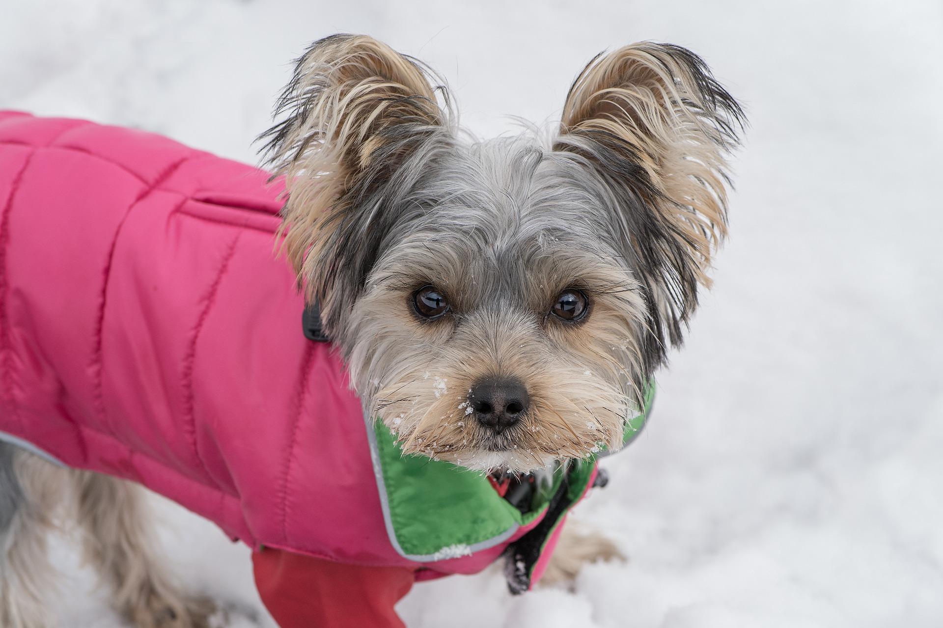 Sweterki, płaszczyki, kurteczki dla psów. Wybór jest ogromny. Na co się zdecydować?