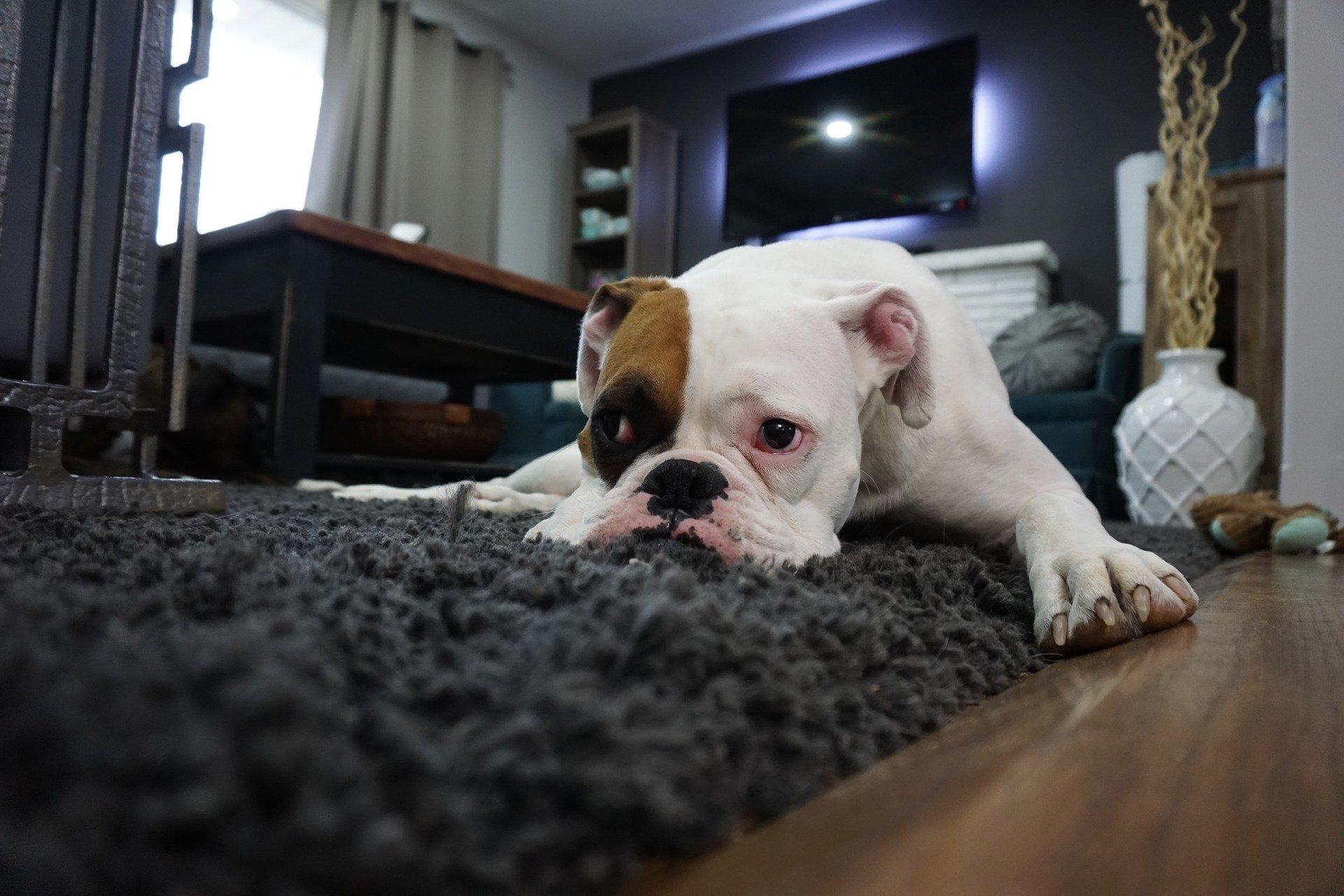 Biegunka u psa to zwykle objaw zatrucia pokarmowego. Niekiedy jednak może świadczyć o rozwoju poważnej choroby.