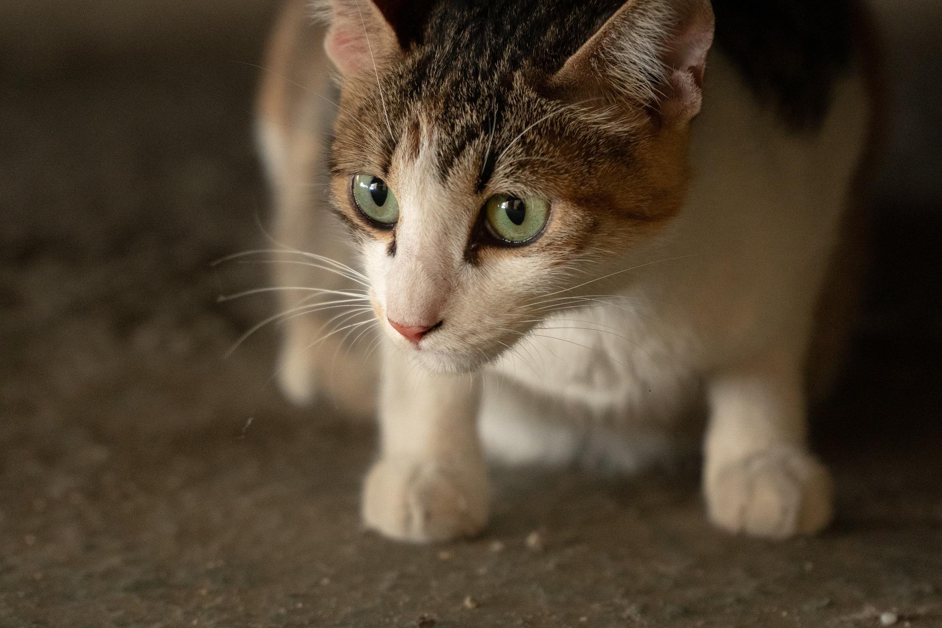 Nawet dorosłego kota można oswoić, jeśli zachowa się przy tym spokój i cierpliwość.