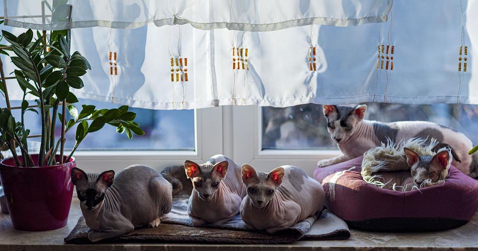 Powstały na podstawie takich danych przelicznik nie jest liniowy – przez pierwsze dwa lata życia kotu przybywa o wiele więcej umownych ludzkich lat niż w starszym wieku.