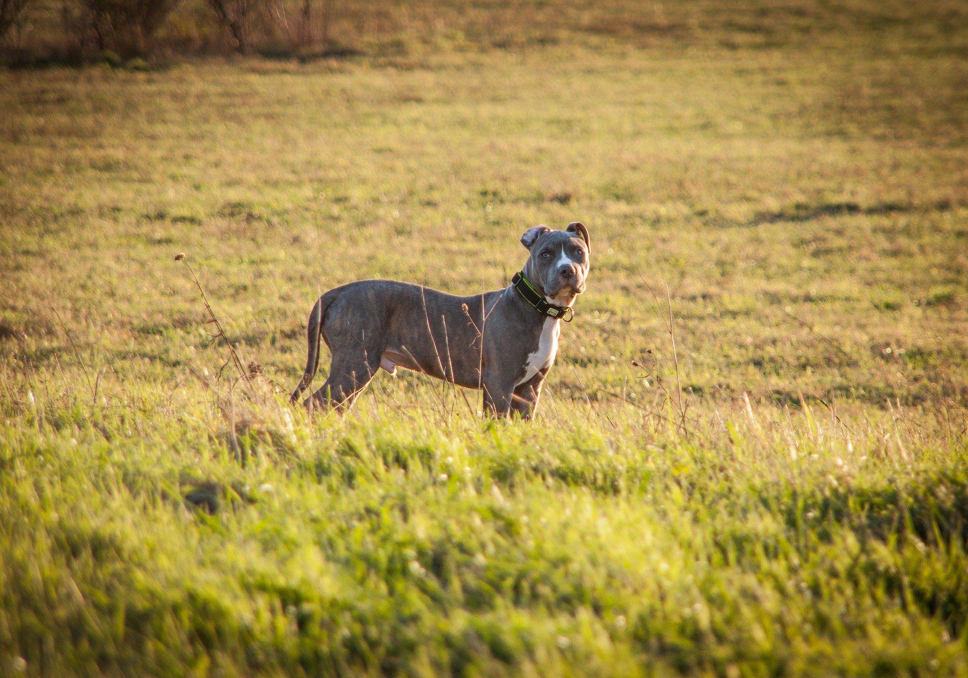 Amstaff wywodzi się z grupy psów bojowych, decydując się na tę rasę należy mieć na uwadze jego pochodzenie.