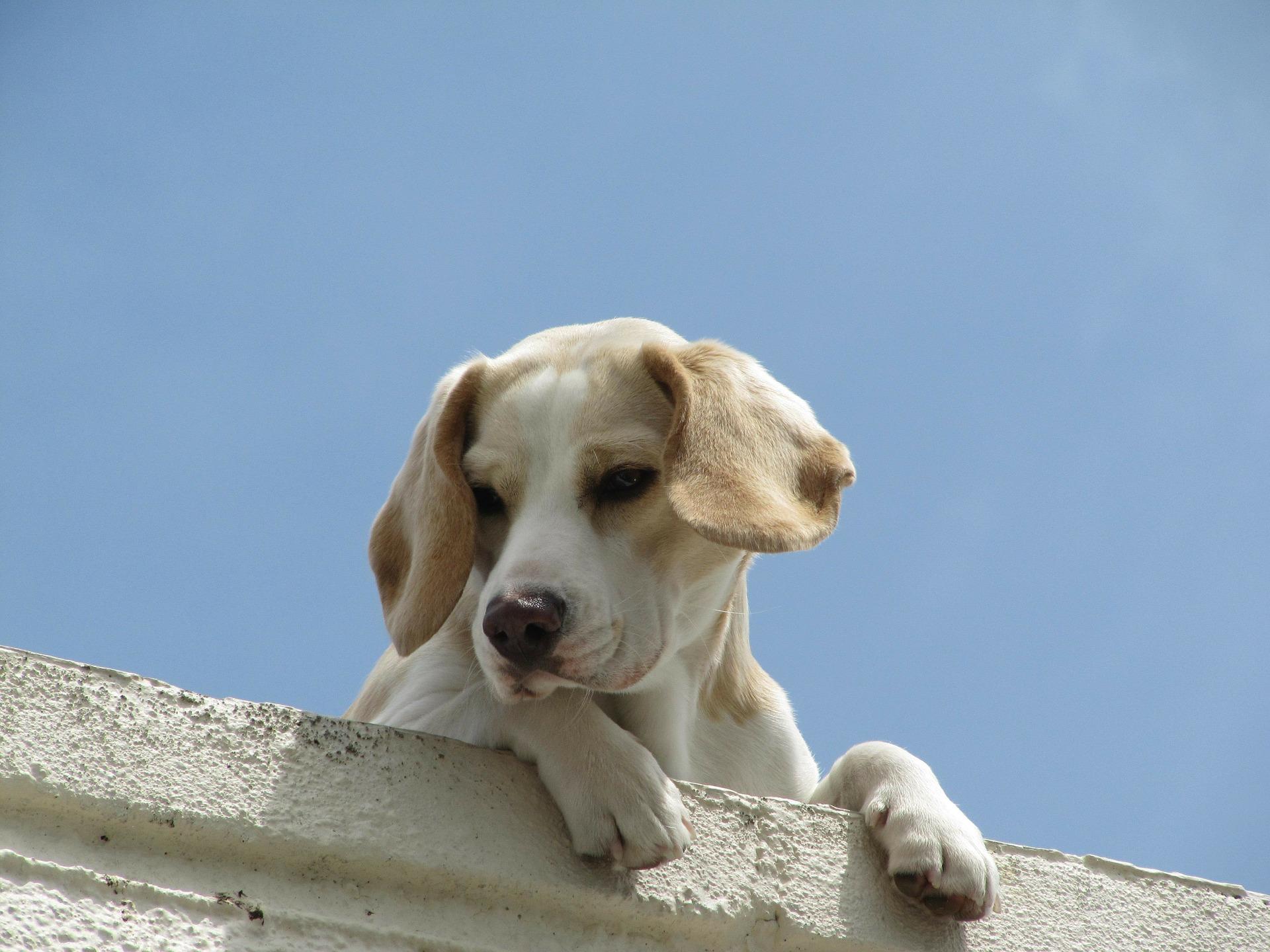 Kaszel u psa często oznacza chorobę, ale jego przyczyną może być też obecność czynników drażniących drogi oddechowe.
