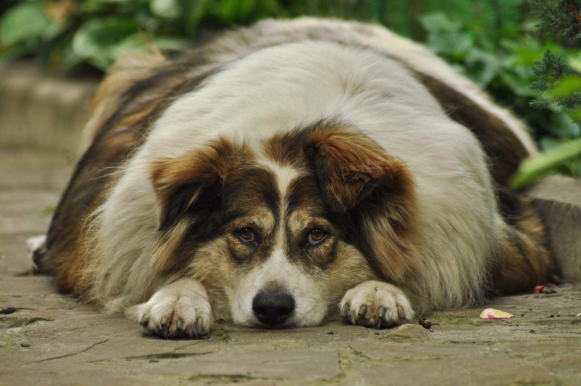 Jak odchudzić psa? Po odpowiedź na to pytanie najlepiej udać się do lekarza weterynarii. Konieczna będzie dieta i ruch.