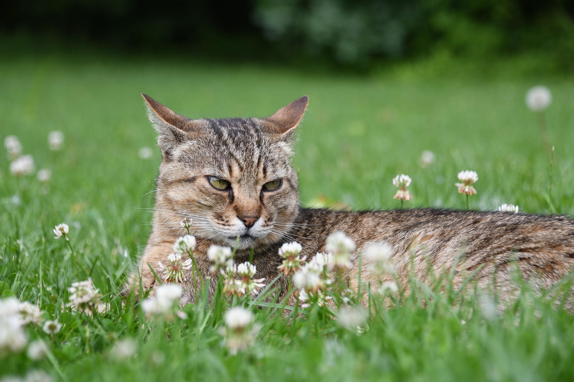 Agresywny kot to nie lada problem. Po pomoc w złagodzeniu złego zachowania warto udać się do weterynarza lub behawiorysty.