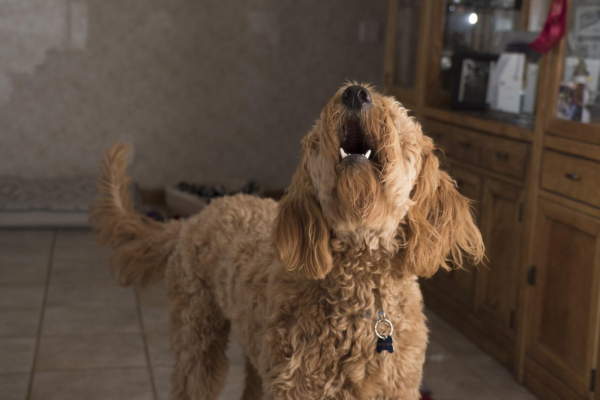 Pies może wyć z wielu powodów. Takie zachowanie oznacza nudę, lęk separacyjny, ból, a nawet bywa reakcją na bodziec.