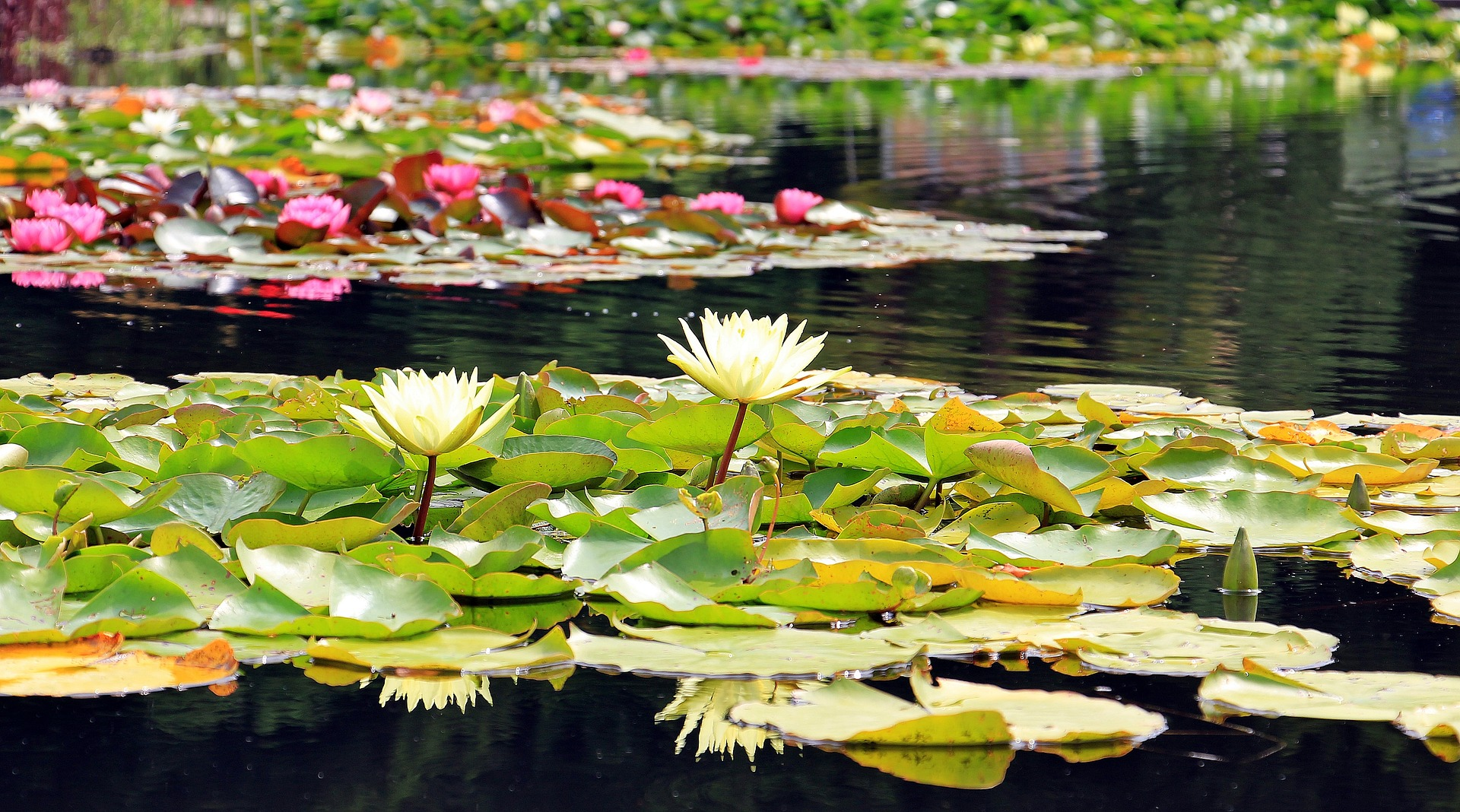 Rośliny do oczka wodnego podnoszą jego atrakcyjność. Wiele z nich poprawia stan wody w ogrodowej sadzawce.