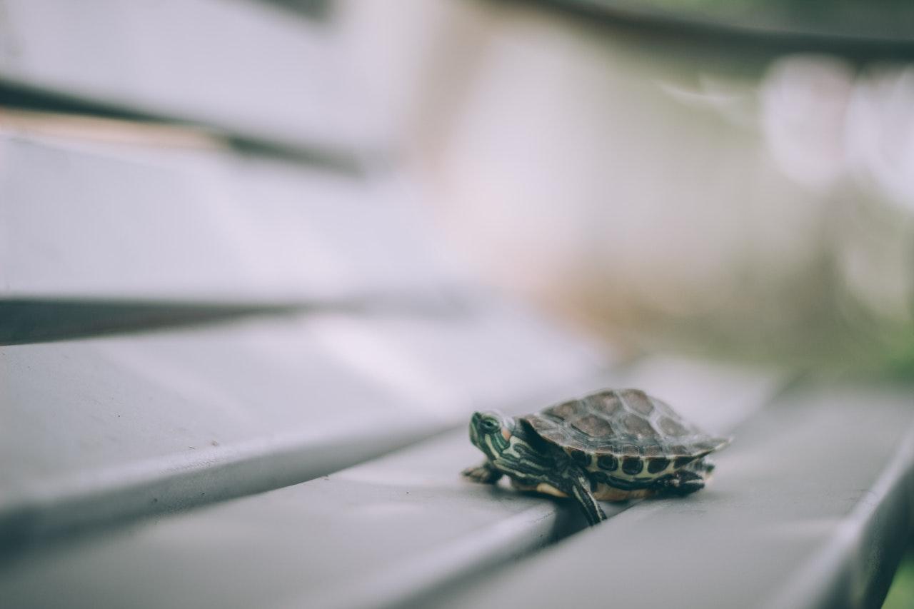 Małe zwierzę domowe idealne do mieszkania to żółw wodny, który nie osiąga dużych rozmiarów ciała.