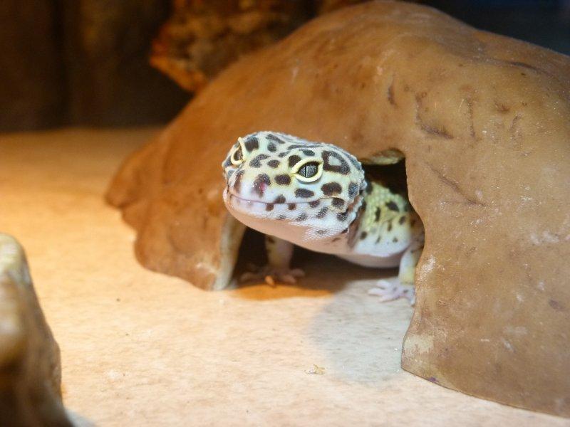 Terrarium dla gekona powinno być odpowiednio duże. Musi zawierać kryjówki oraz podgrzewanie, np. matę grzewczą lub lampę UV.