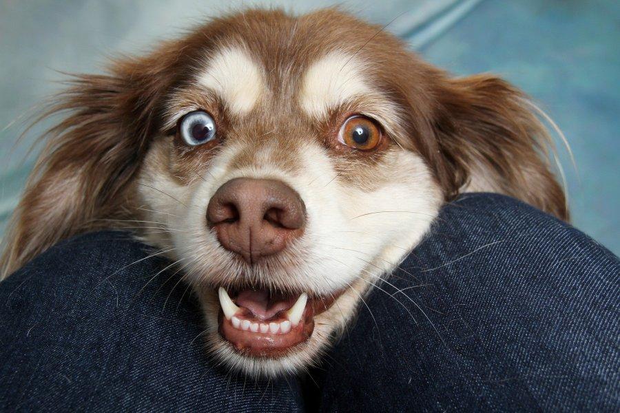 Psy najlepiej widzą barwy od zielonego do niebieskiego, a także żółte. Nie rozróżniają koloru czerwonego.