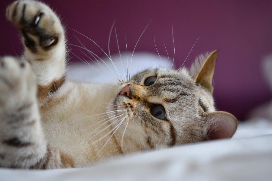 Kocie wibrysy ukazują nastrój kota, podczas zabawy i polowania są nastroszone i napięte.