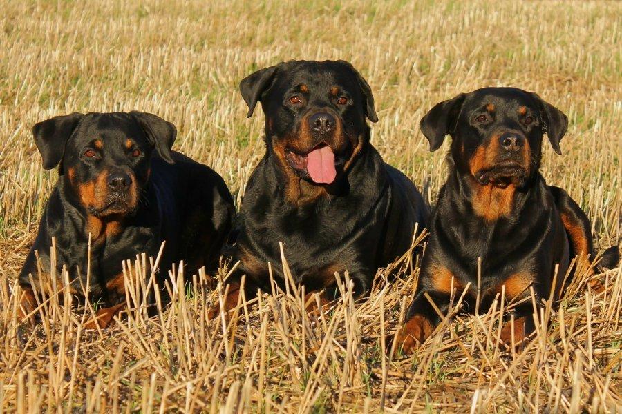 Przy złym żywieniu rottweilery mają skłonności do nadmiernego tycia i w konsekwencji nadwagi. Psy tej rasy potrzebują dużej dawki ruchu.