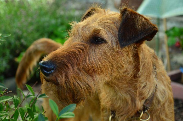 Airedale terrier na pysku ma dłuższe włosy, tworzące wąsy.