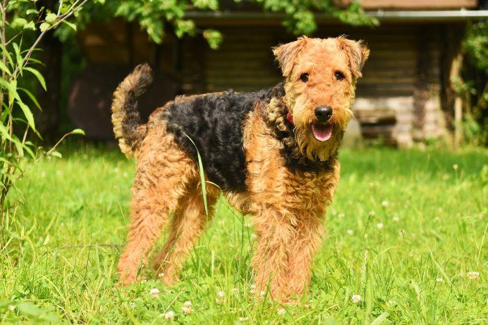 Airedale terrier jest psem lubiącym aktywność, należy do psów ras dużych szorstokowłosych.