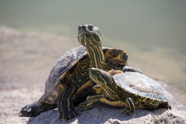 Żółwie wodne lubią wychodzić na kamienie i podwyższenia, aby się nagrzać.