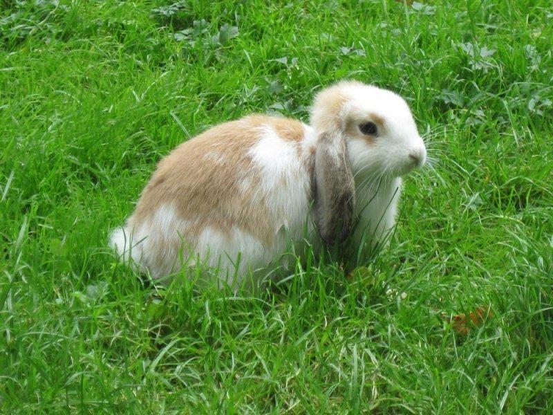 Zwisłouchy królik stoi na zielonej trawie. Ważną częścią diety królików jest świeża zielenina.