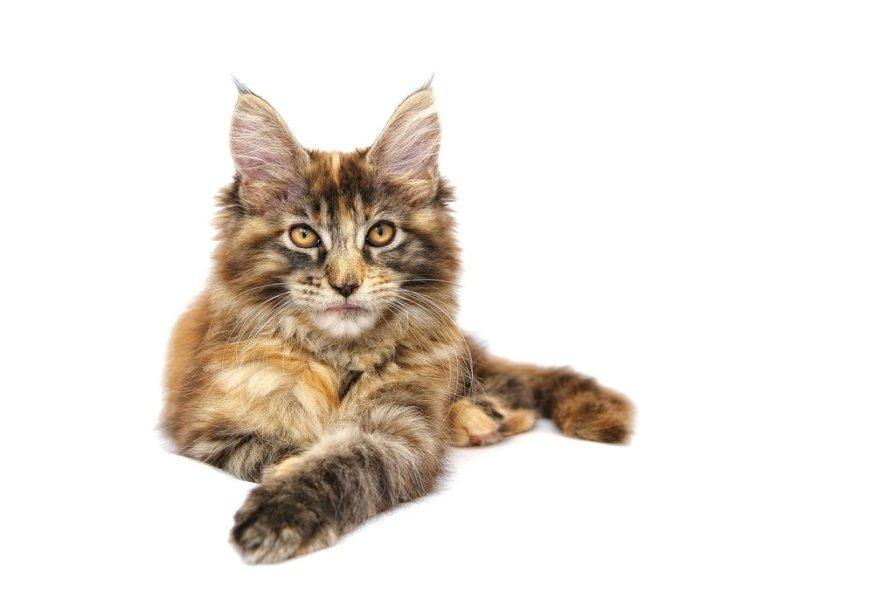 Koty Maine Coon mają duże, owalne, lekko skośne oczy o intensywnym zabarwieniu.