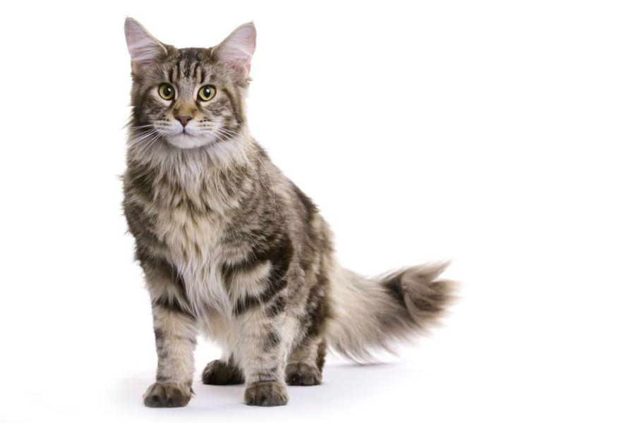 Młody Maine Coon jest puchaty jak kuleczka, a owalne oczy jeszcze bardziej umilają kociaki.