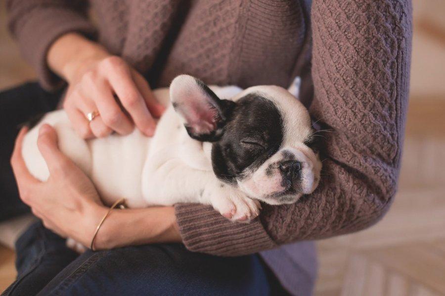 Szczenię buldożka francuskiego śpi na rękach opiekunki