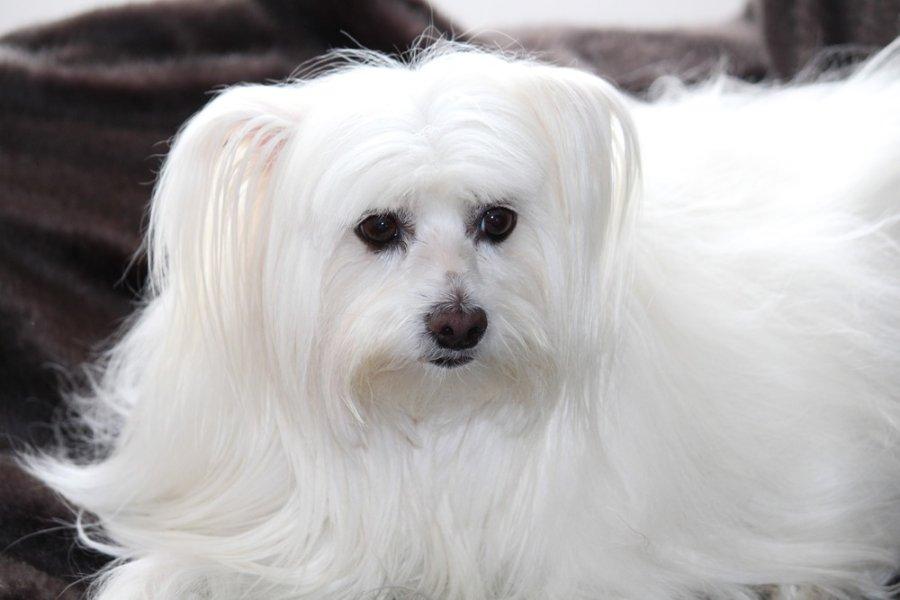 Wzorzec maltańczyków określa ich sierść na bardzo długą, powinna być nawet dłuższa niż sam pies! Utrzymanie takiej szaty w dobrym stanie wymaga sporego zaangażowania.
