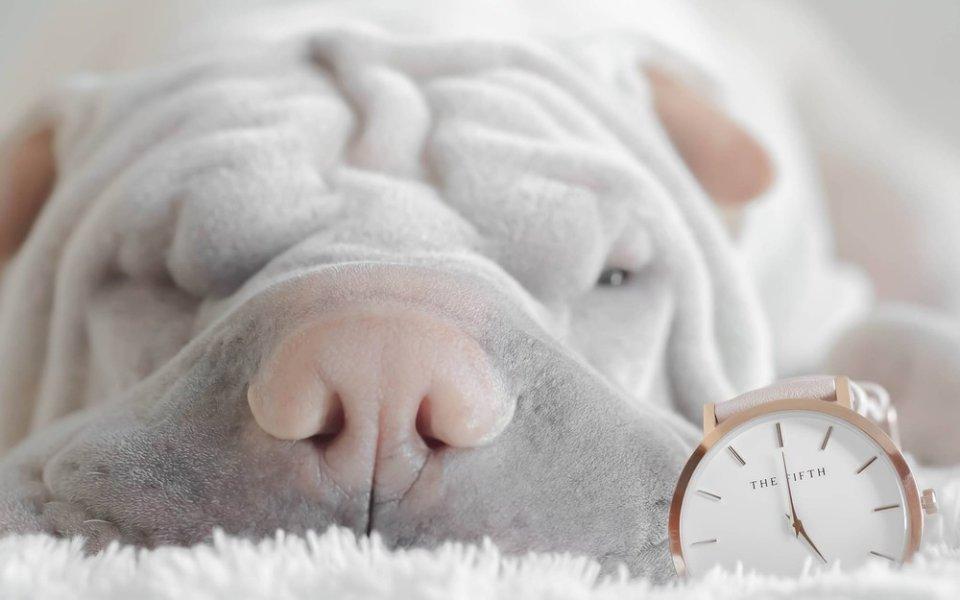 Dobrze zsocjalizowany pies, który jest wybawiony i po spacerze, podczas nieobecności opiekunów, często przesypia.