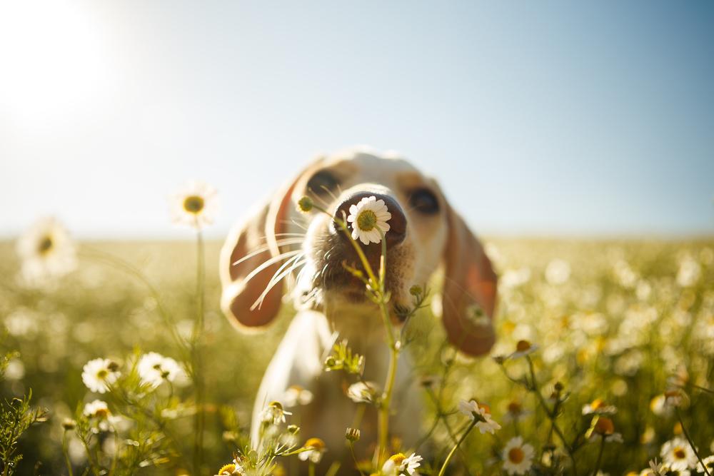 Alergie u psa mogą objawić się np. podczas wąchania stokrotek na łące. W czasie nadmiernego wąchania pies może kichać.