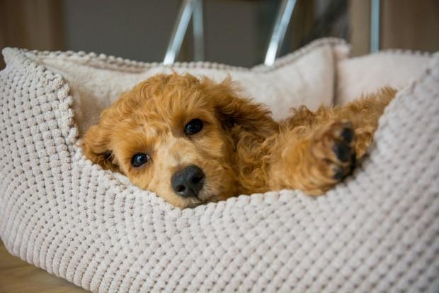 Zmęczony szczeniak pudla średniego odpoczywa na legowisku,