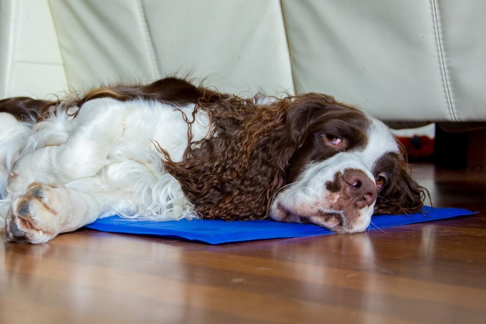 Każdy opiekun psa źle znoszącego upały powinien zaopatrzyć się w matę chłodzącą..