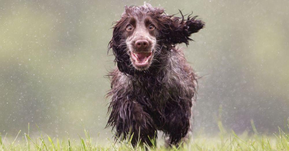 Mokry pies biegnie z radością. Psy myśliwskie z reguły uwielbiają wodę i chętnie się w niej bawią.