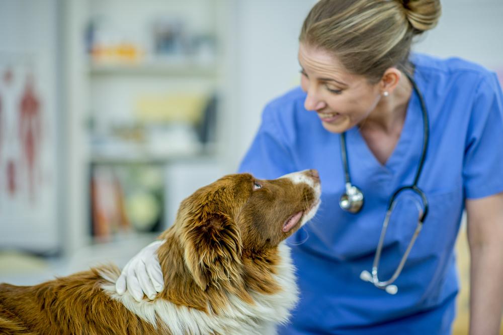 Alergie u psów czy kotów należy zdiagnozować i potwierdzić u weterynarza. Owczarek podczas wizyty u lekarza weterynarii, spogląda na Panią doktor. Wizyta u weterynarza nie musi być stresującym przeżyciem jeśli stworzymy zwierzętom dobre skojarzenia.