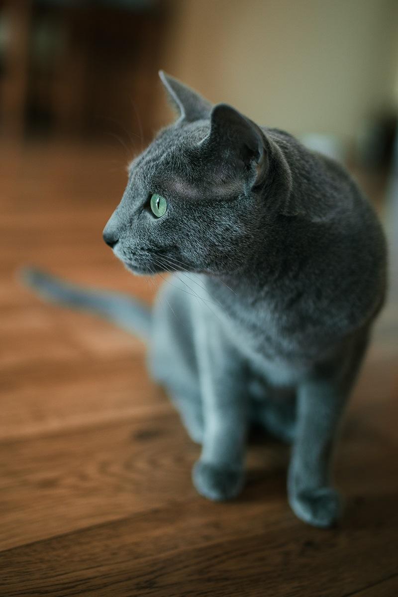 Rosyjczyki z profilu mają prosty nos i uśmiech na pyszczku. Koty rosyjskie niebieski są rasą naturalną, ukształtowaną przez warunki w jakich żyły.