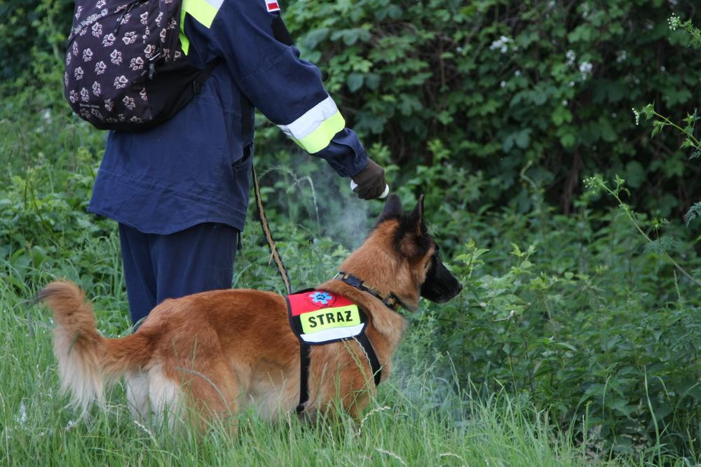 Pies ratownik ze straży przeszukuje teren lasu w poszukiwaniu zaginionych.