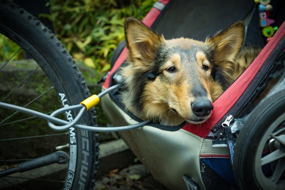 Pies w wózku doczepionym do roweru. Wychyla głowę obserwując widoki, zabezpieczony smyczą i odpowiednią liną
