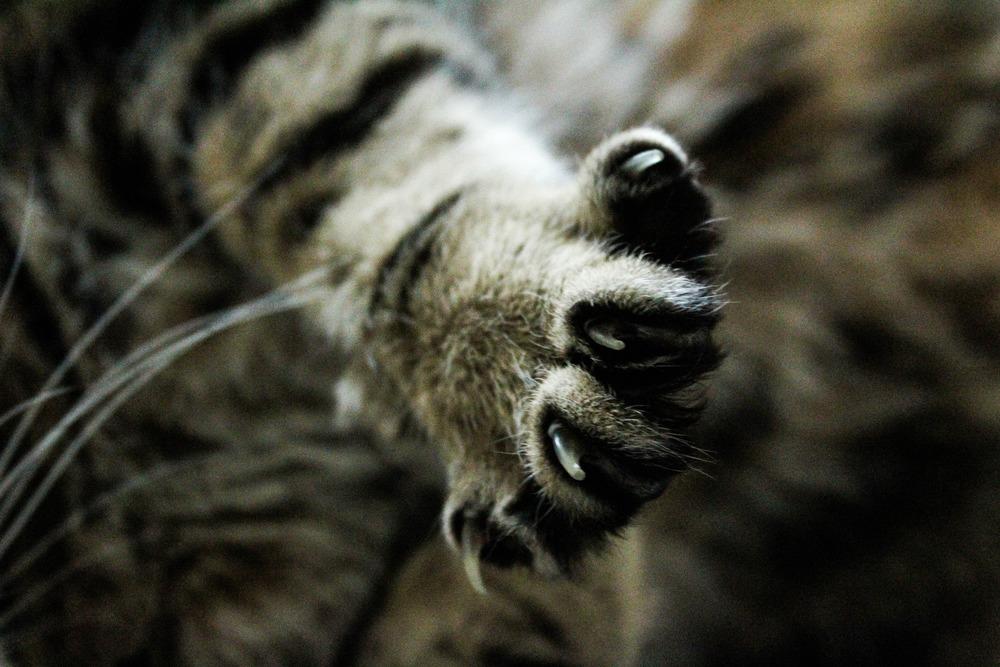 Łapa kota ma 5 palców, a każdy jest zakończony pazurem. Podcinanie pazurów kotom niewychodzącym ułatwia życie i kotom i opiekunom.