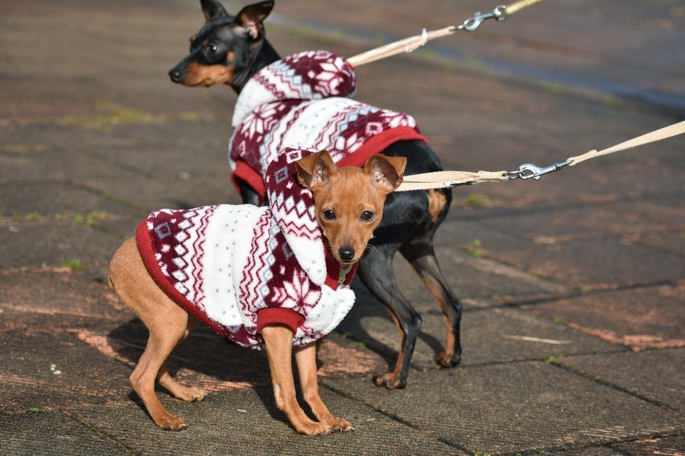 Ubranka dla psów ras małych są praktycznym gadżetem, który pozwoli przetrwać psom najzimniejsze okresy.