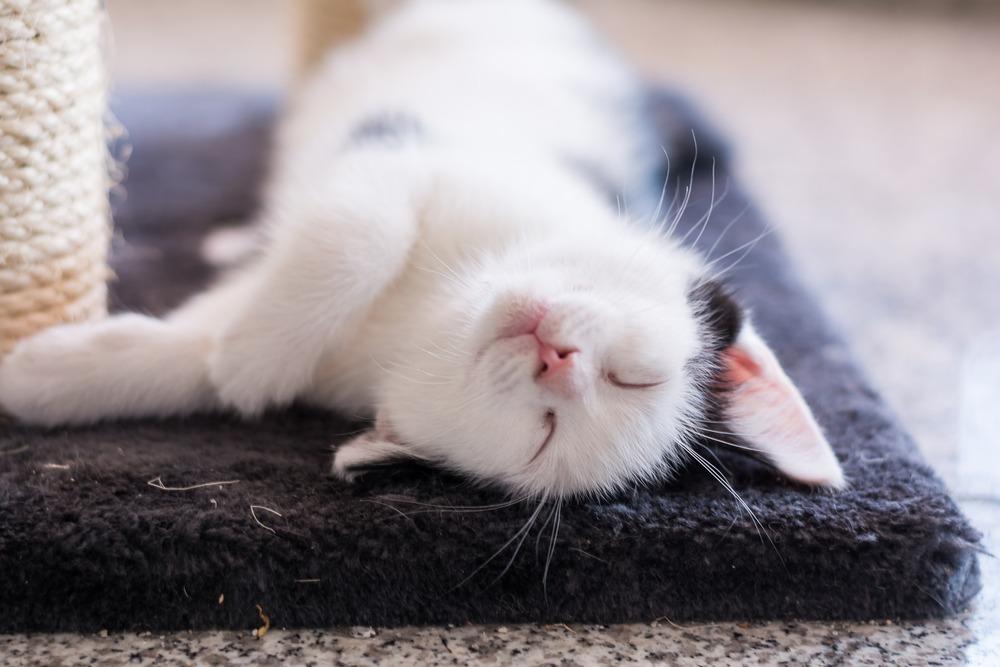 Koty żyją przeciętnie od 12 do 20 lat, aczkolwiek poszczególne populacje tych zwierząt – w zależności od cech genetycznych, warunków zewnętrznych i sposobu odżywiania – mogą mieć inny średni okres przeżycia.