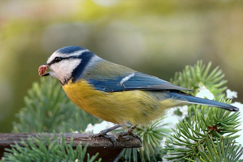 Dokarmiając ptaki można stosować karmę podstawową od producentów. Co jakiś czas można urozmaicać dietę ptaków poprzez owoce.
