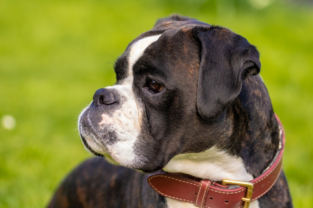 Boxer należy do ras psów brachycefalicznych. Szczególnie należy go chronić przed zbyt wysokimi temperaturami.