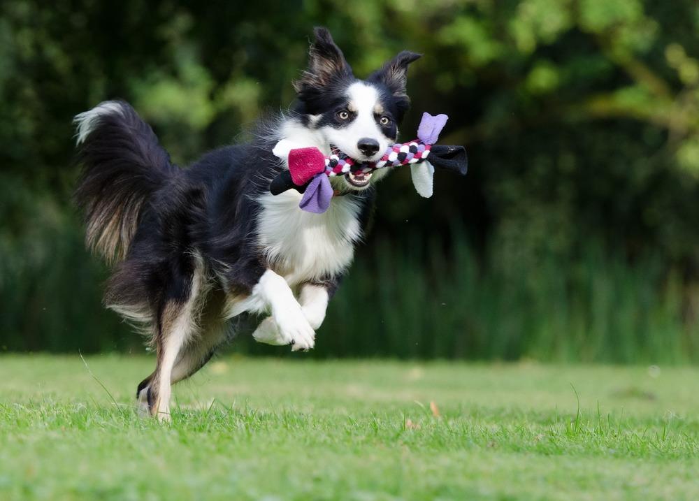 Młody pies z zabawką, wysoko skacze, może być narażony na upadek i problemy ze stawami