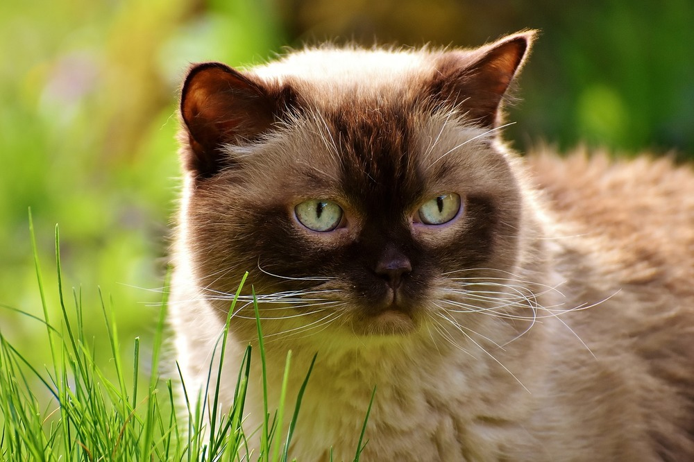 Dorosły kot brytyjski na dworze. Nie jest to naturalne środowisko dla kotów, tym bardziej tych rasowych.