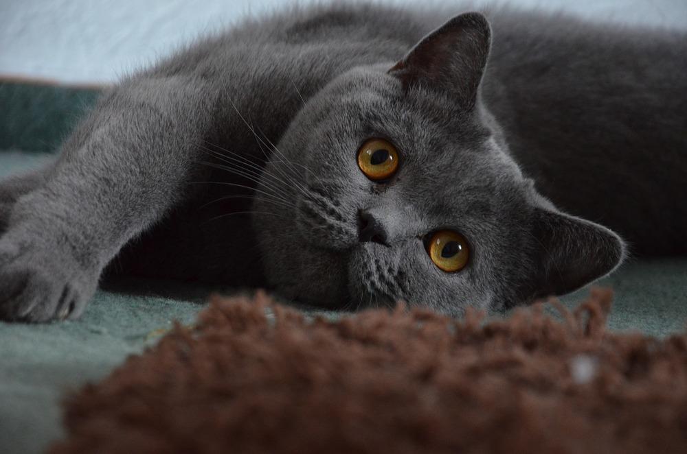 Kot brytyjski o maści niebieskiej. Brytyjczyki mają duże głowy i duże oczy, często o pięknym żółtym odcieniu.
