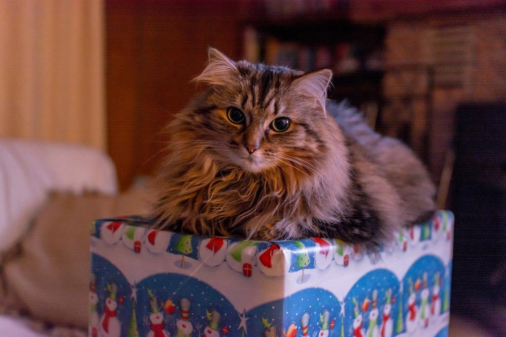 Kot przestraszony leży na prezencie. Święta dla kotów nie są łatwe. Wiążą się z wieloma bodźcami stresogennymi dla kotów. Umilmy kotom Święta poprzez prezenty,